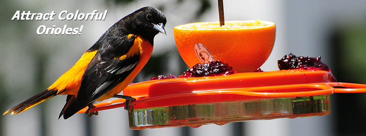 Oriole Feeders and Accessories