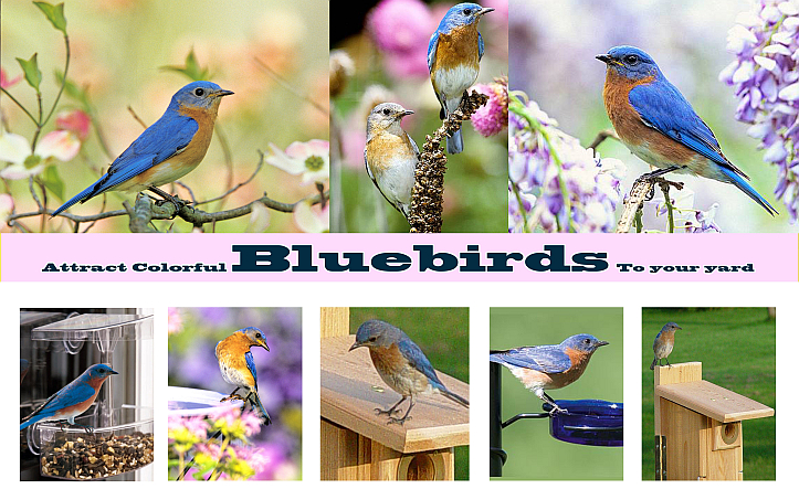 Attracting Colorful Bluebirds to Your Yard