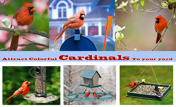 Attract Cardinals To Your Yard!