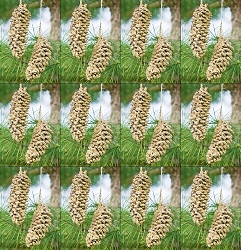 Pine Cone Pair Set of 12
