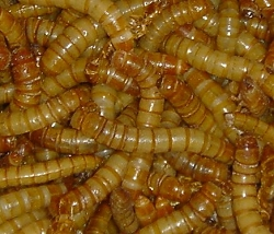 Giant Mealworms 1000 Count