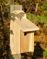 Western Bluebird Joy Box