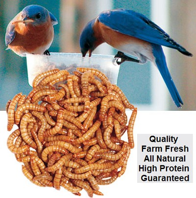 Live Mealworms 500 Count Cup w/Bedding